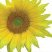 Sunflower_logo.jpg